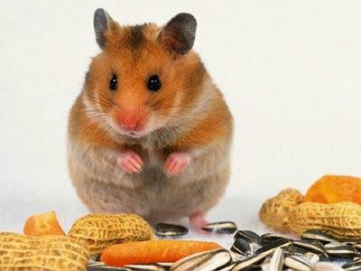 Tập tính tai hại của loài chuột