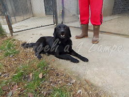 SASHA,DERIVATO FLAT-COATED RETRIEVER 3 ANNI