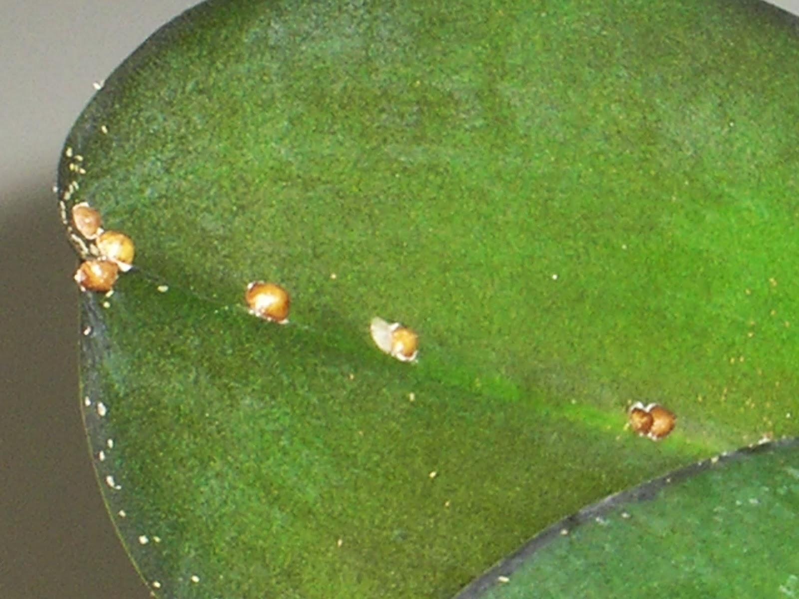 щитовка на орхидеях фото