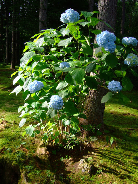Beautiful blue Japanese ajisai