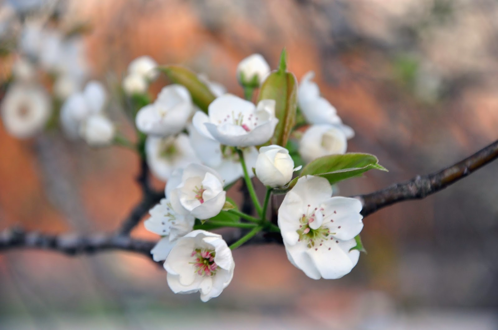 Pear Trees in Blossom Hickory Ridge Studio