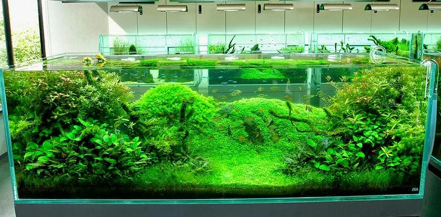 Pesona Aquascape Tanaman Dalam Air - Dunia Akuarium