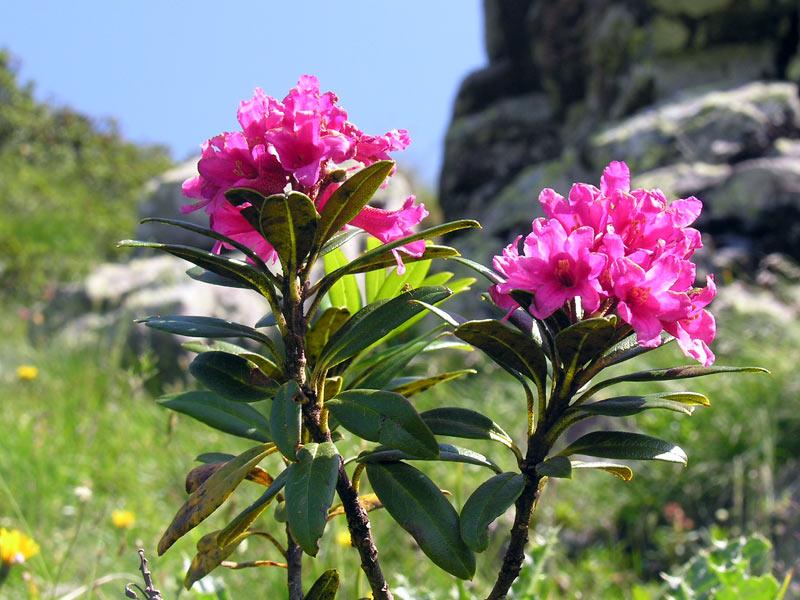 Marco leone oleolita galle di rododendro for Rododendro pianta