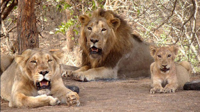 Asiatic Lions at Gir