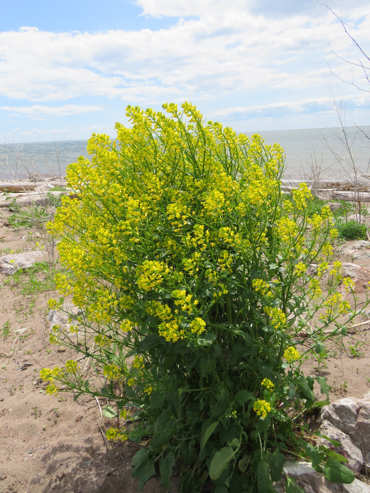 Wildflowers Of The Gaspé
