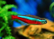 Tetra Cardinal Tetras Fish Photo
