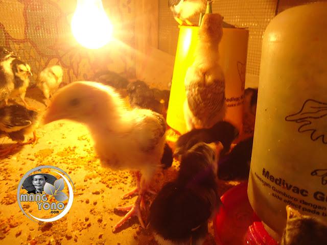 Cara agar anak ayam kampung cepat tumbuh besar