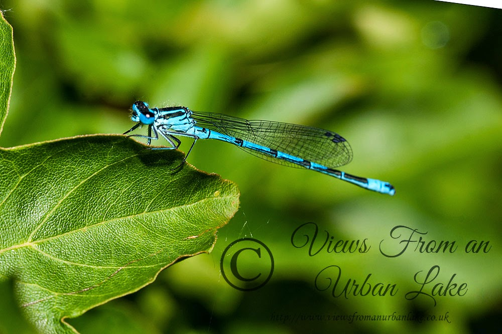 Azure Damselfly - Lodge Lake, Milton Keynes
