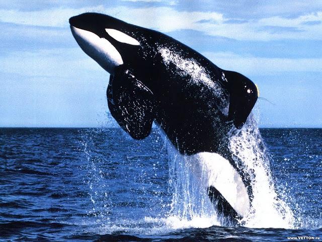 killer whale jamp