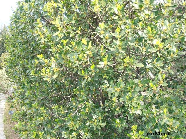 ALADIERNO: Rhamnus alaternus