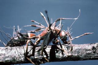 Insetos parasitados por fungos