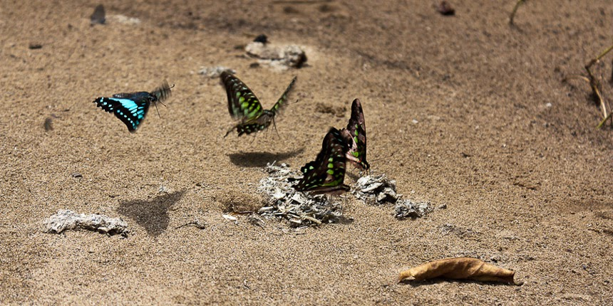 butterflies at the Kayan River, East Kalimantan, Indonesia