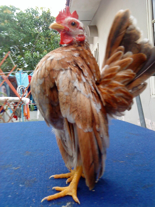 Laman Serama Parit Buntar ( Ayam Serama ): Kemana Arah