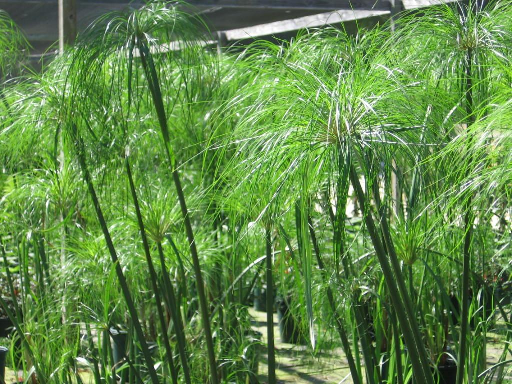 cyperus papyrus rumput papyrus debungor. Black Bedroom Furniture Sets. Home Design Ideas