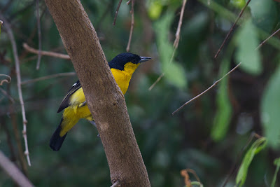 Photograph of a male Common Iora taken in Yala, Sri Lanka