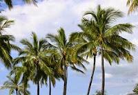 la palmera mas cultiva del mundo es el cocotero