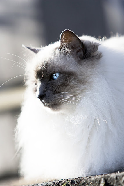 Health issues in Birman Cats