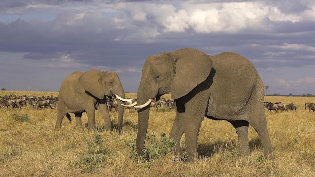 elephants wallpaper
