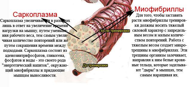саркоплазма и миофибрилы в гиперплазии мышечных тканей