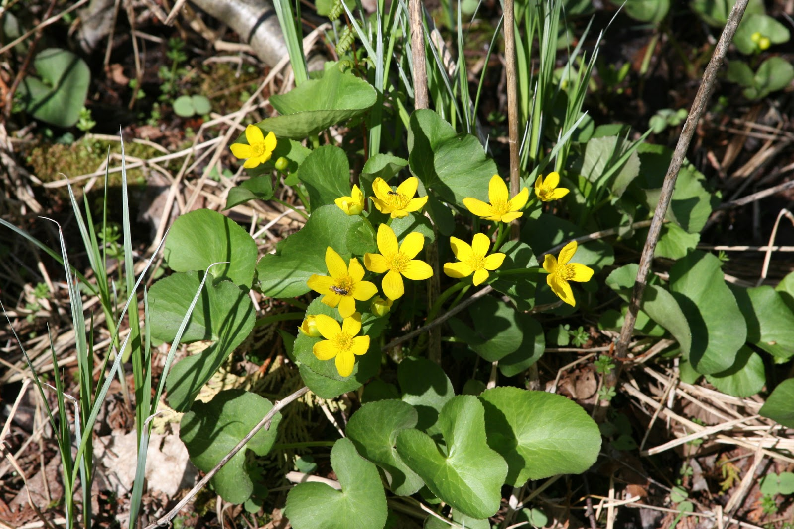 Marsh Marigold Is An Herbaceous Plant With Yellow Flowers And Glossy Green Heart Or Kidney Shaped Leaves It Forms Low Mounds From 8 Inches To 24