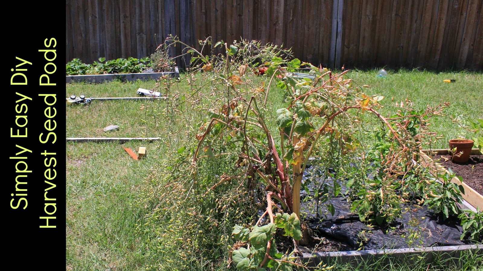 Harvesting Radish Seeds