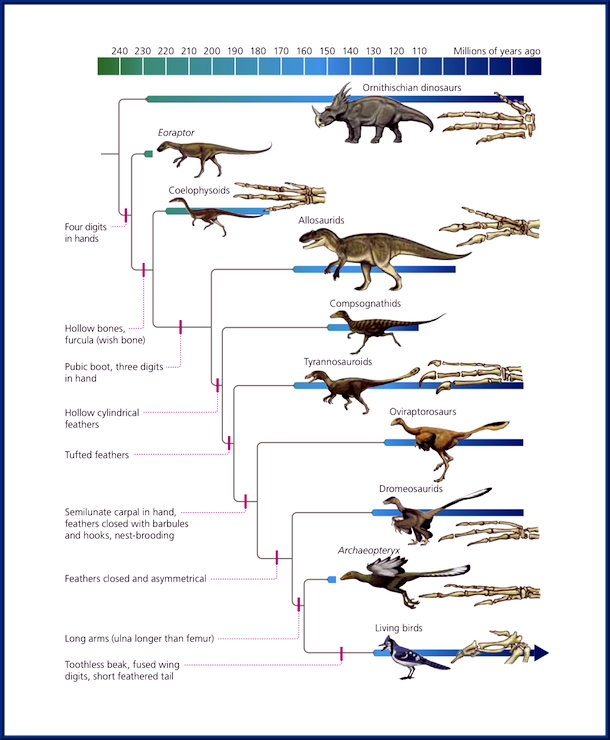 Evolution chart dinos --> birds