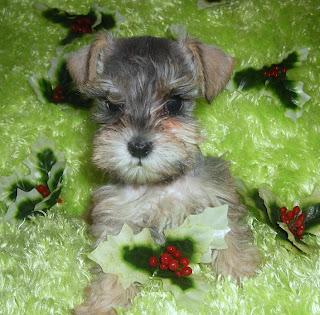 Schnauzer Puppy Image