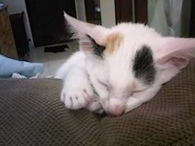 beberapa jenis penyakit kucing