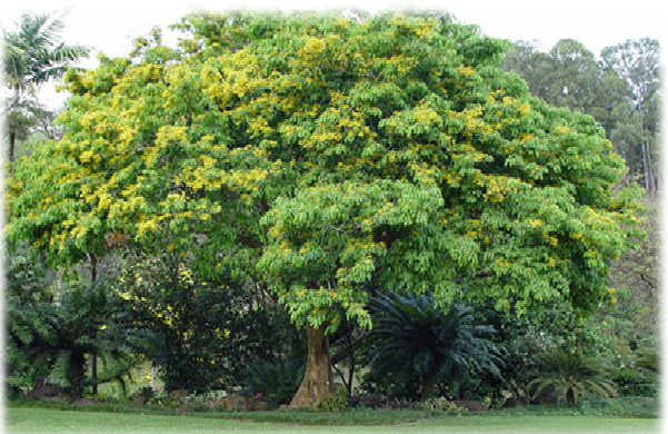 Narra Philippines  city pictures gallery : plant a tree: Philippines Narra Tree Pterocarpus indicus