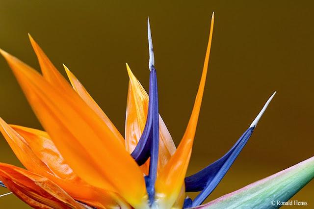 Blumen, Blüten, Paradiesvogelblume Strelitzia