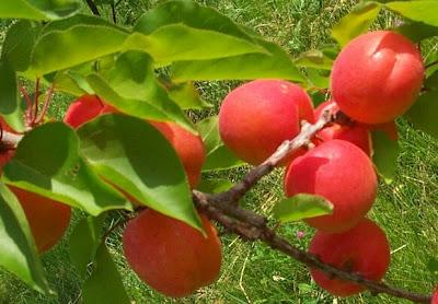 http://1.bp.blogspot.com/-8OaEEmKHSSE/UTZLKawd2JI/AAAAAAAAGqs/Swyv2dCeJIY/s1600/Apricots+lable.jpg