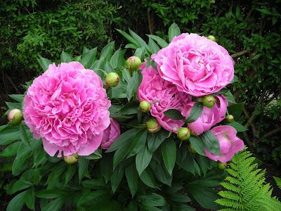 Min skønne jasmin og lidt roser og pæoner