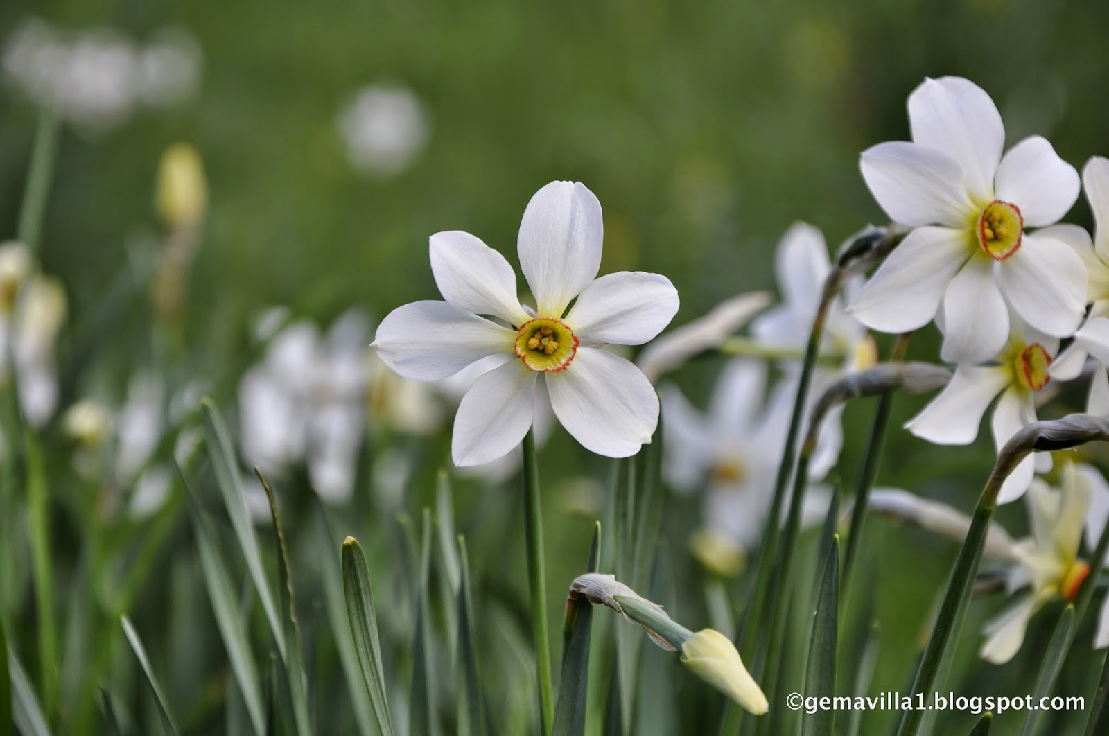NARCISO DE LOS POETAS - Narcissus poeticus | Flores del Pirineo ...