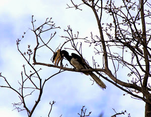 Hornbill :- Photo  Co-Tourist Mr Sameer.Mhatre.