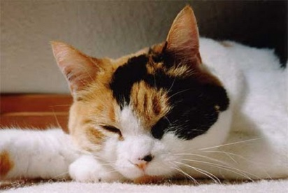 Pesona Kucing Kembang Telon Dan Mitos Seputarnya Info
