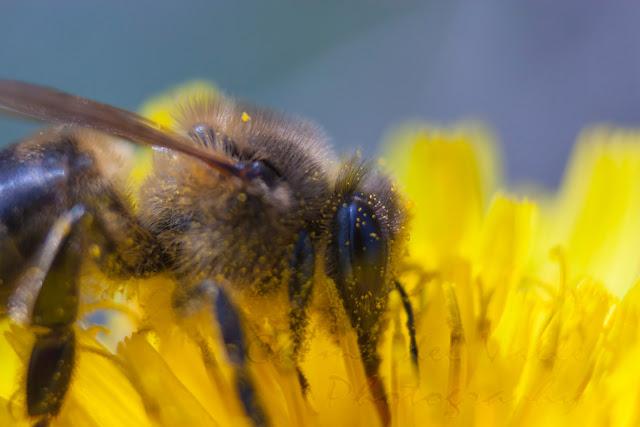 macro fotografía de una abeja cubierta de polen