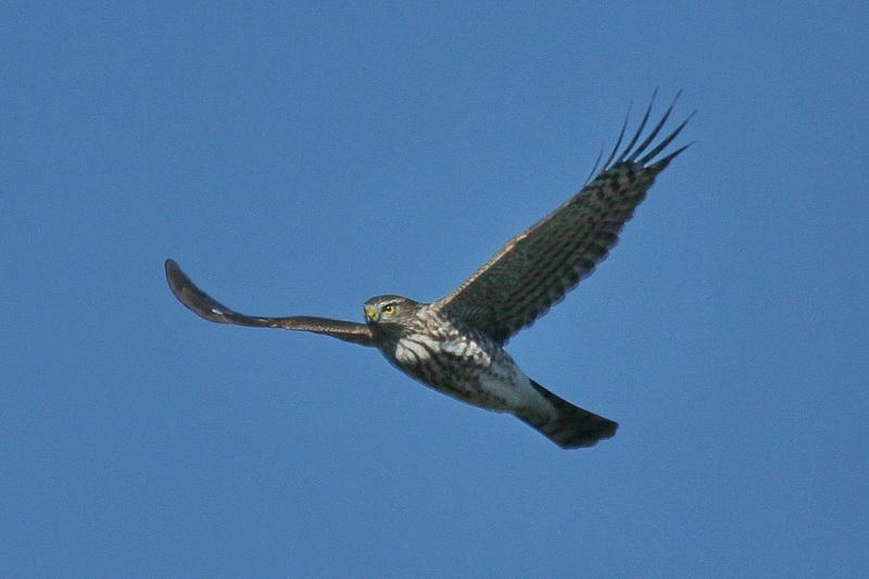 Tails of Birding: Broadwing Bonaza   800 x 533 jpeg 116kB
