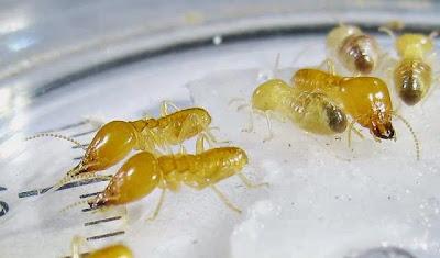 Schedorhinotermes sp