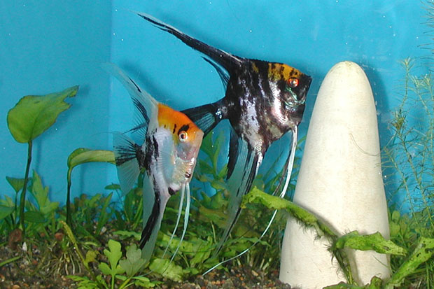 Oscar Fish Eggs also Celebes rainbow fish for sale also YourTanks Page22 as well Dwarf Gourami together with African Cichlid Pic. on oscar angelfish tank