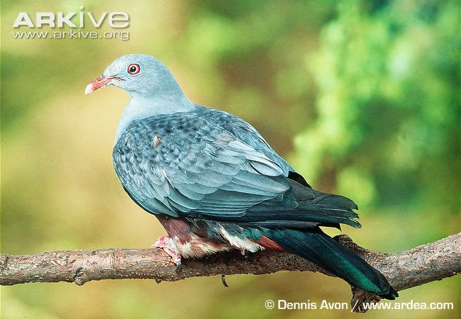Spotted imperial pigeon Ducula carola