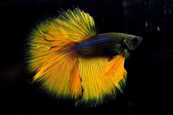 Fighter fish types - photo#4