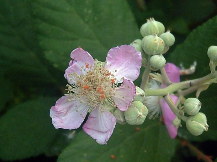 Blog di fiori forchette agosto 2013 for Fiori di agosto