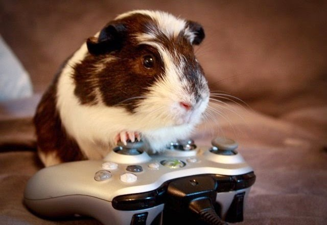 Really Cute Guinea Pigs Really Funny Guinea Pig