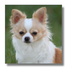Chihuahua Long Coated Dog Breed Pictures