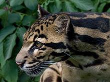 Sunda clouded leopard, kucing liar langka asli Indonesia