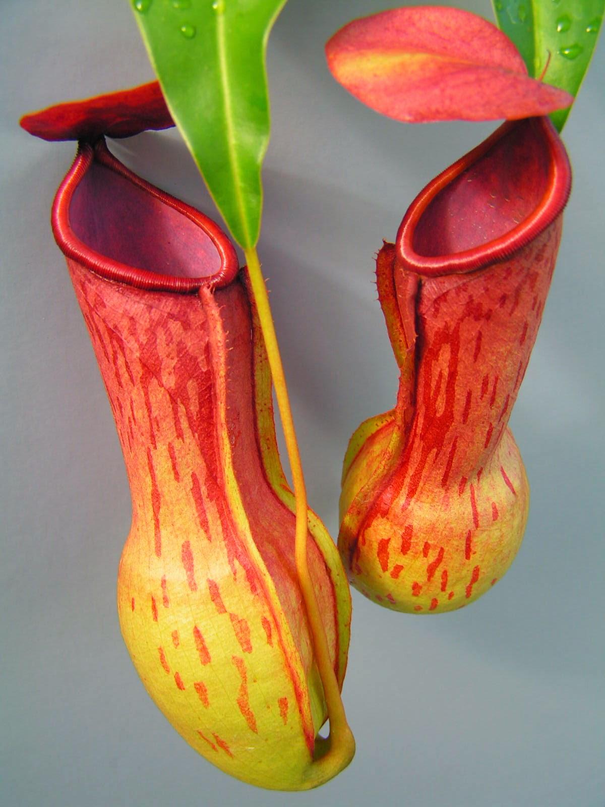http://ficusbenyamina.blogspot.com/2015/01/tumbuhan-insektivora.html