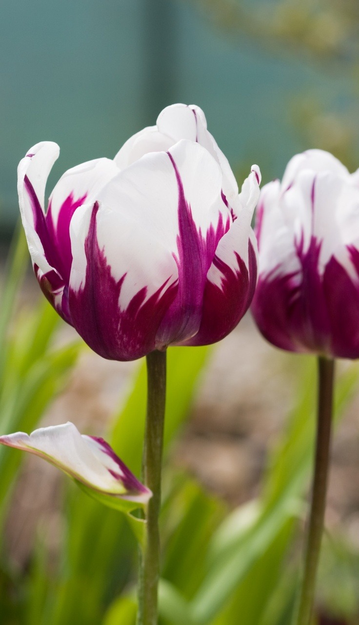 Fabulous beauty of Tulip flowers