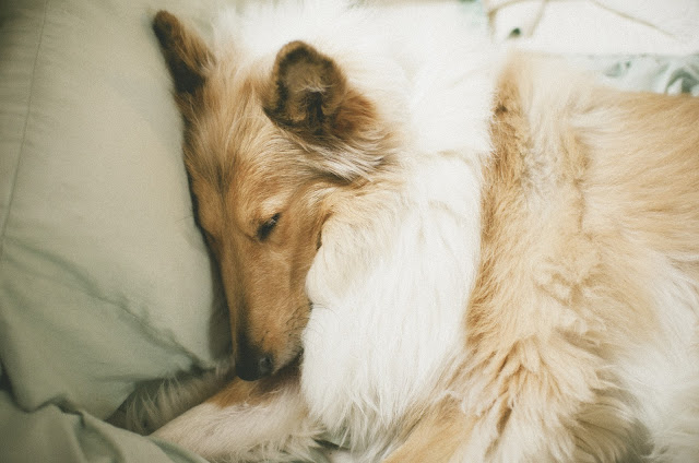 dog, cute, collie, asleep,