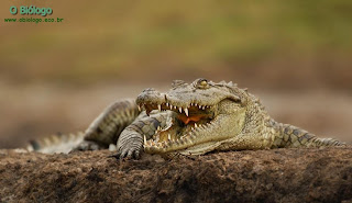 crocodilo-do-nilo-biologia