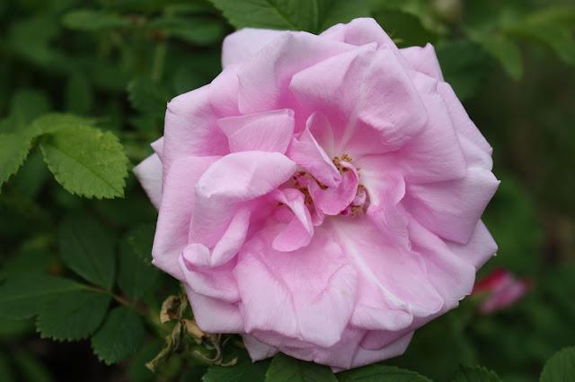 ruusu, tuoksu, kukkien tuoksu, ruusuntuoksu